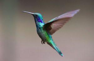 hummingbird -יונק הדבש- צופית של גוגל. הבנה סמנטית של טקסט